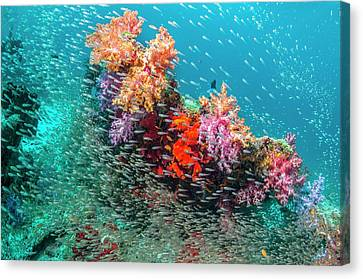 Coral Reef And Pygmy Sweepers Canvas Print by Georgette Douwma