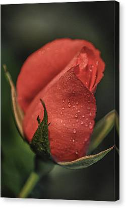 Canvas Print featuring the photograph Coral Rosebud by Debbie Karnes