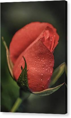 Coral Rosebud Canvas Print by Debbie Karnes
