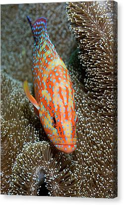 Coral Trout Or Grouper (plectropomus Canvas Print by Jaynes Gallery