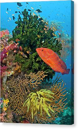 Coral Trout (plectropomus Leopardus Canvas Print by Jaynes Gallery