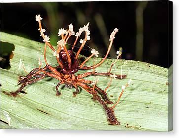 Neotropical Canvas Print - Cordyceps Fungus by Dr Morley Read
