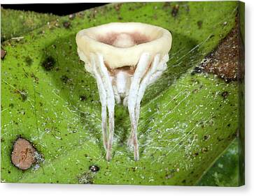 Neotropical Canvas Print - Cordyceps Fungus Parasitizing A Spider by Dr Morley Read