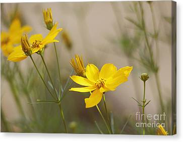Canvas Print featuring the photograph Coreopsis by Trina  Ansel