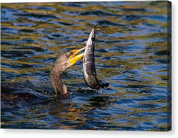 Cormorant And Its Meal Canvas Print by Andres Leon