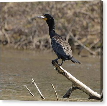 Brian Rock Canvas Print - Cormorant by Brian Rock