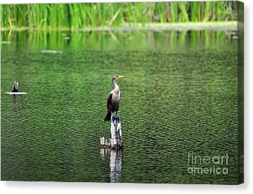 Phalacrocorax Auritus Canvas Print - Cormorant Chilling by Al Powell Photography USA