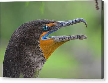 Cormorant Close Up Canvas Print by Jodi Terracina