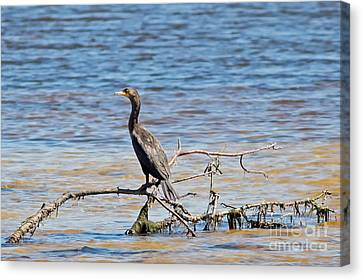 Jn Ding Darling National Wildlife Refuge Canvas Print - Cormorant In The Lagoon by Natural Focal Point Photography