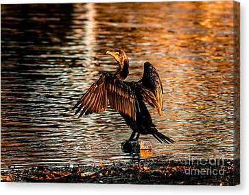 Cormorant On Gold Canvas Print by Robert Frederick