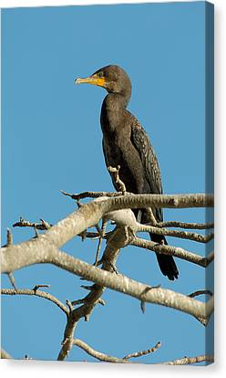 Perched Canvas Print - Cormorant by Sebastian Musial