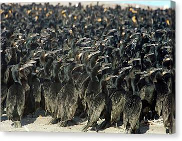 Phalacrocorax Auritus Canvas Print - Cormorants by Christopher Swann