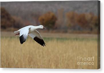 Canvas Print featuring the photograph Corn And Geese by Ruth Jolly
