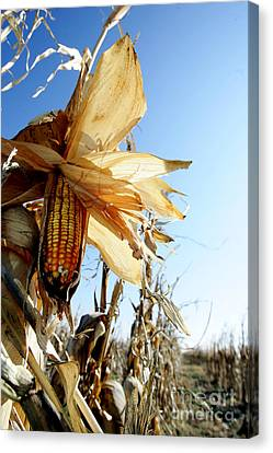 Corn And Husks In A Plantation Canvas Print