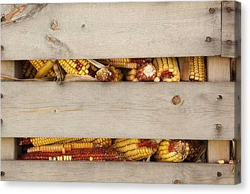 Corn Cobs In Corn Crib At Indiana State Canvas Print