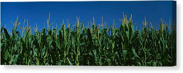 Corn Crop In A Field, New York State Canvas Print by Panoramic Images