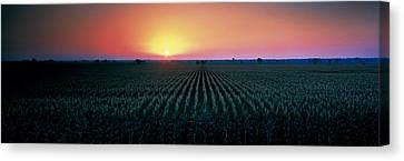 Corn Field At Sunrise Sacramento Co Ca Canvas Print