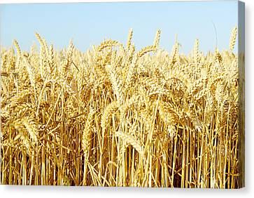Corn Field Canvas Print by Chevy Fleet