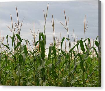 Canvas Print featuring the photograph Corn Field by Laurel Powell