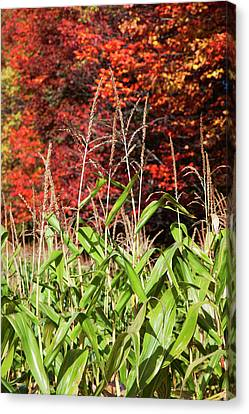 Corn Growing In A Field And Autumn Canvas Print by Jenna Szerlag