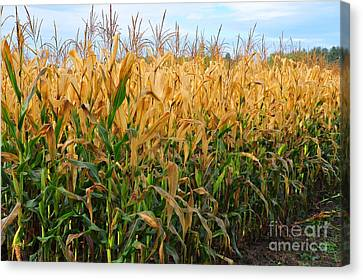 Canvas Print featuring the photograph Corn Harvest by Terri Gostola