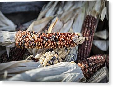 Corn Of Many Colors Canvas Print by Caitlyn  Grasso