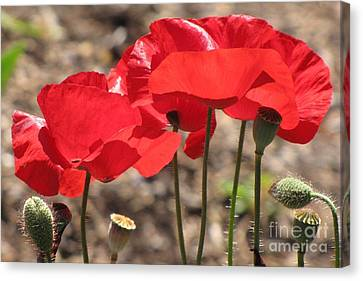 Canvas Print featuring the photograph Corn Poppies by Michele Penner