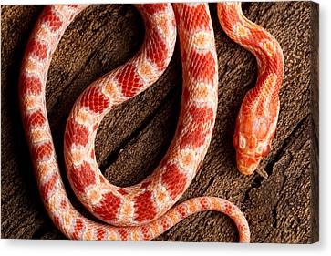 Canvas Print featuring the photograph Corn Snake P. Guttatus On Tree Bark by David Kenny