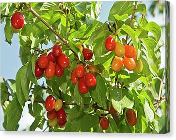 Cornelian Cherries (cornus Mas) On A Tree Canvas Print