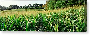 Cornfield, Baltimore County, Maryland Canvas Print by Panoramic Images