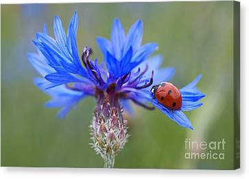 Canvas Print featuring the photograph Cornflower Ladybug Siebenpunkt Blue Red Flower by Paul Fearn