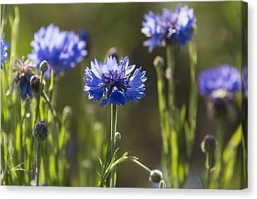 Cornflowers _centaurea Cyanus__ Upper Canvas Print by Carl Bruemmer
