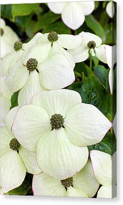 Cornus Kousa Southern Cross In Bloom Canvas Print