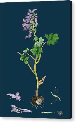 Corydalis Solida Solid Bulbous Fumitory Canvas Print by English School