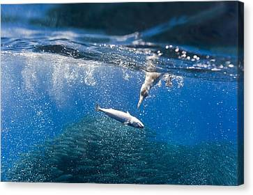 Cory's Shearwaters Hunting Mackerel Canvas Print by Science Photo Library