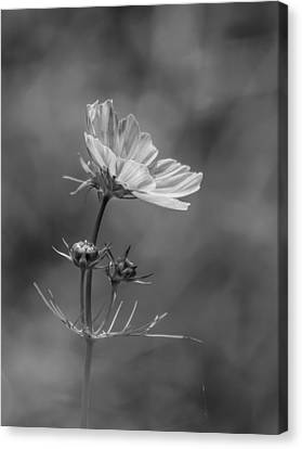 Canvas Print featuring the photograph Cosmo Flower Reaching For The Sun by Debbie Green
