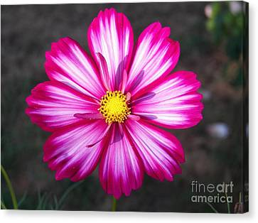 Cosmo Canvas Print by Judy Via-Wolff