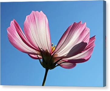 Canvas Print featuring the photograph Cosmos 1 by Gerry Bates