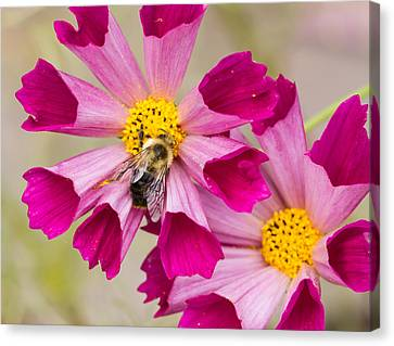 Cosmos And Bee Canvas Print