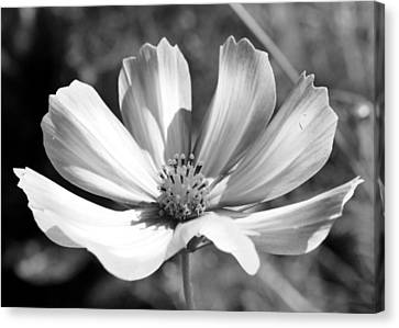 Canvas Print featuring the photograph Cosmos Bw1 by Gerry Bates