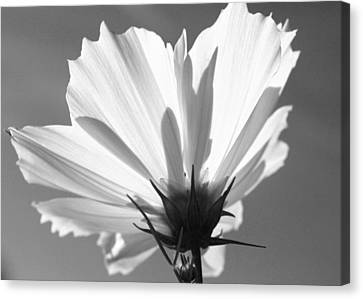 Canvas Print featuring the photograph Cosmos Bw2 by Gerry Bates