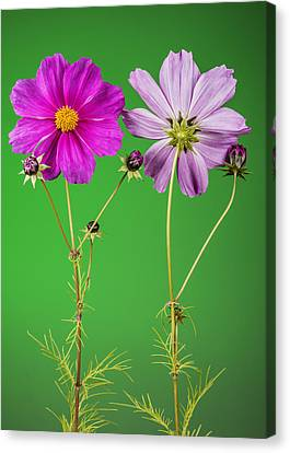 Cosmos Flowers From Front And Back Canvas Print