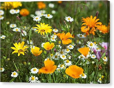 Cosmos Flowers Canvas Print by King Wu