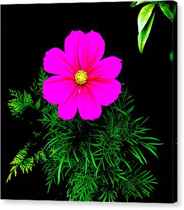 Cosmos Pink On Black 2 Canvas Print