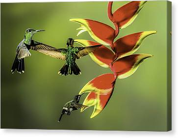 Green Thorntail Canvas Print - Costa Rican Hummingbirds by Myer Bornstein