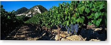 Vine Grapes Canvas Print - Cote Du Rhone Vineyard, Provence, France by Panoramic Images