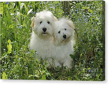 Coton De Tulear Dogs Canvas Print by John Daniels