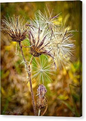 Canvas Print featuring the photograph Cotten Grass by Jim Thompson