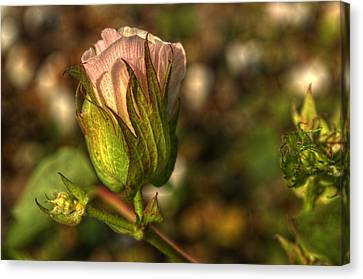 Cotton Bloom Canvas Print by Kelly Kitchens