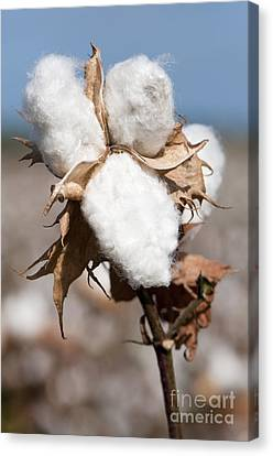 Cotton Bolls  Canvas Print by Hagai Nativ